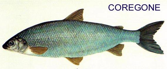 COREGONUS LAVARETUS Coregon4